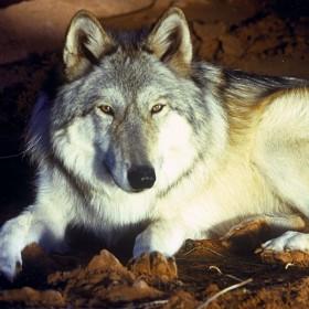 Wolf in Disney's Legend of Lobo