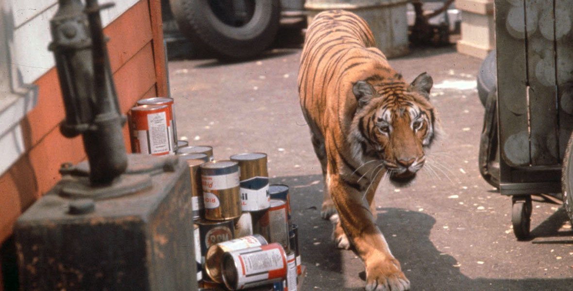 Image result for a tiger walks 1964