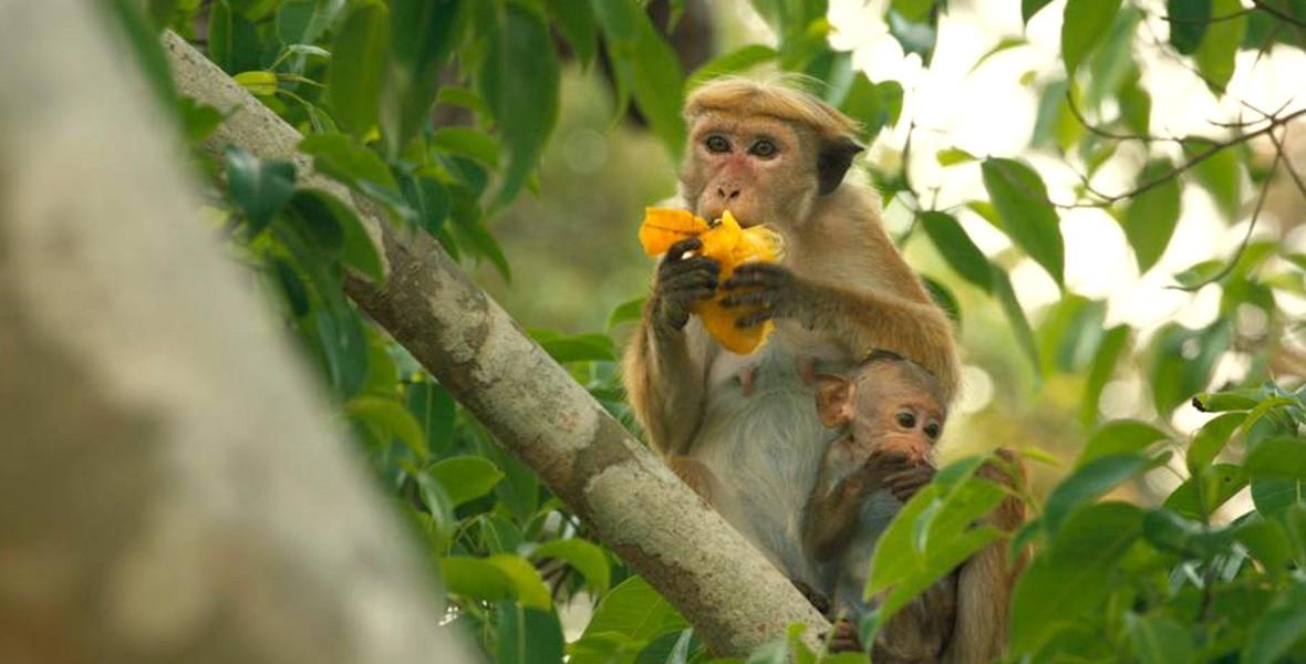 Disneynature's Monkey Kingdom Swings into Theaters - D23