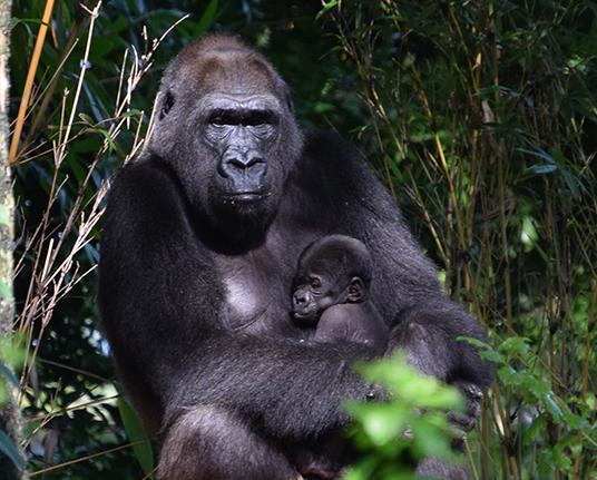 a baby Gorilla in Disney's Animal Kingdom