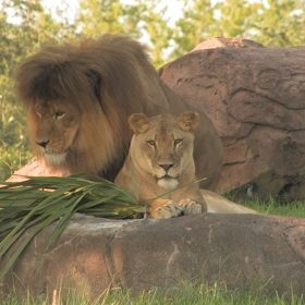 Animals in the Wild: An Inside Look at Kilimanjaro Safaris